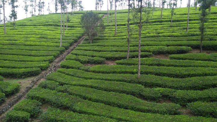 36 Tea Garden Munnar (1)