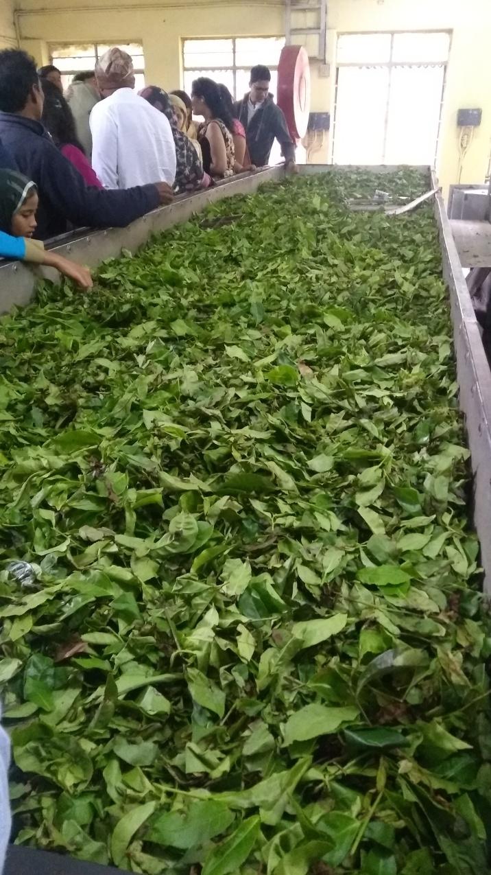 Tea leaves before processing